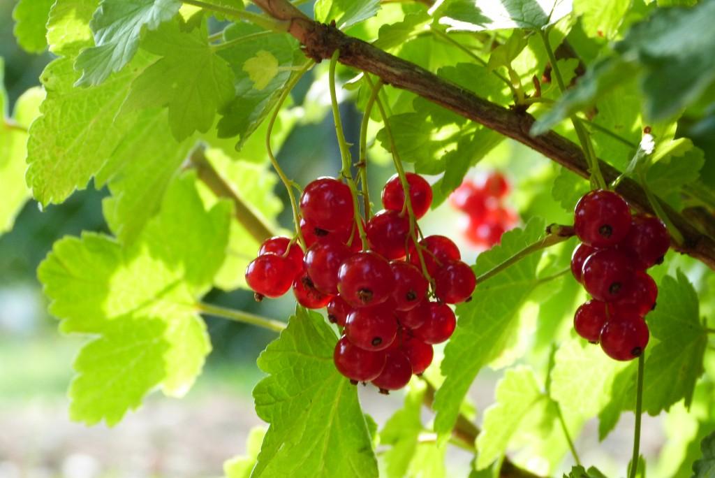 Желе от френско грозде 41 1024x684 Redcurrant jelly